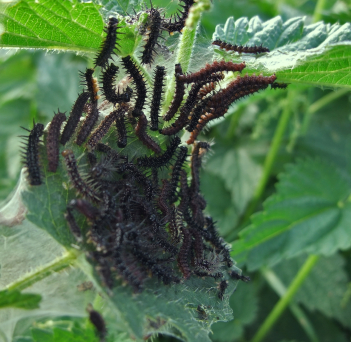 Caterpillars On Nettle Here Comes Trouble   Caterpillars... And What To Do About Them