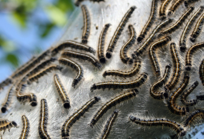 Tent Caterpillars Here Comes Trouble   Caterpillars... And What To Do About Them