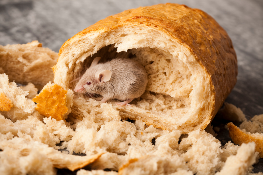 Mouse in Bread Pest Control Tips for Contamination Free Pantries and Cupboards