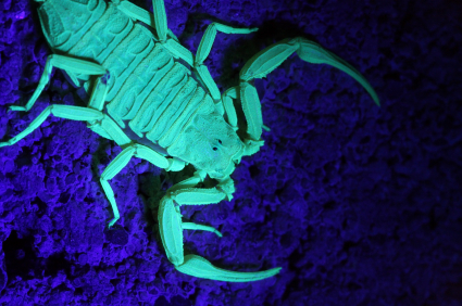 UV Scorpion Hunt Scorpions With Black Light Flashlights