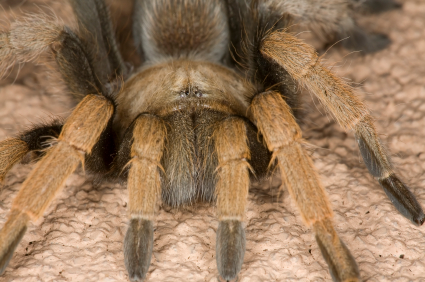 Arizona Blonde Tarantula Arizona Blonde Tarantulas: Are They Dangerous?