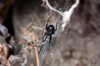 Black Widow Spider In Web What Are The Top 3 Most Common Pests in Arizona?