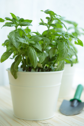 Basil 5 Natural Ways to Keep Your Home Pest Free