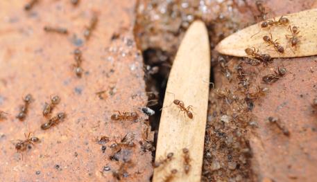 Argentine Ants Mesa Ants