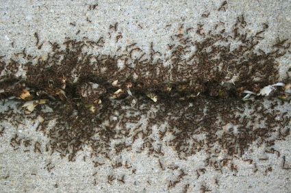 Sidewalk Ants Mesa Ants